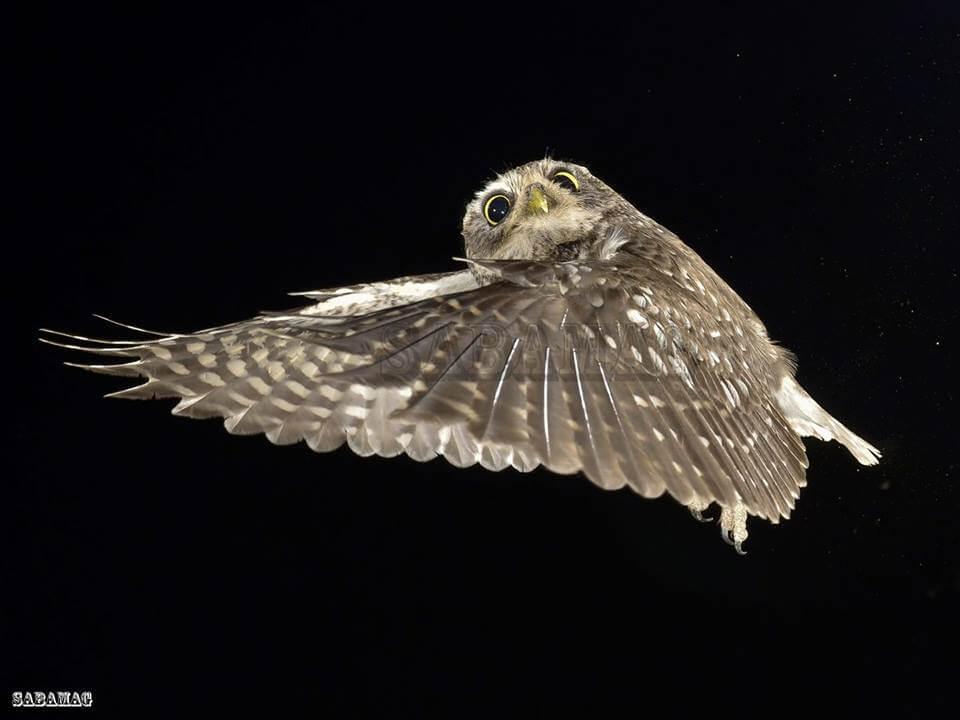 fotografía de aves mochuelo